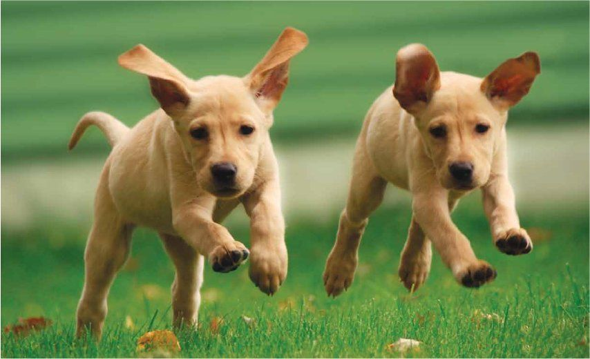 puppies running